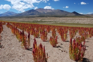 quinoa-cultivation-in-Copacabana-Bolivia